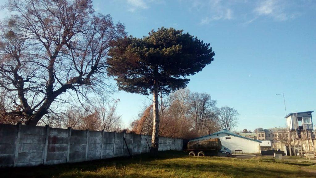 У Червонограді проведуть паспортизацію вікових дерев